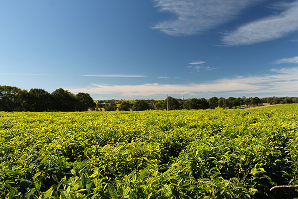 South African Tea Plantation